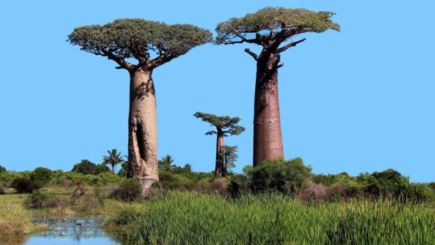 Climate change killing off Africa's iconic baobab tree