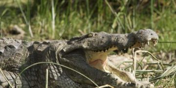 Crocodiles are found in freshwater habitats like rivers and lakes. Photo: AFP
