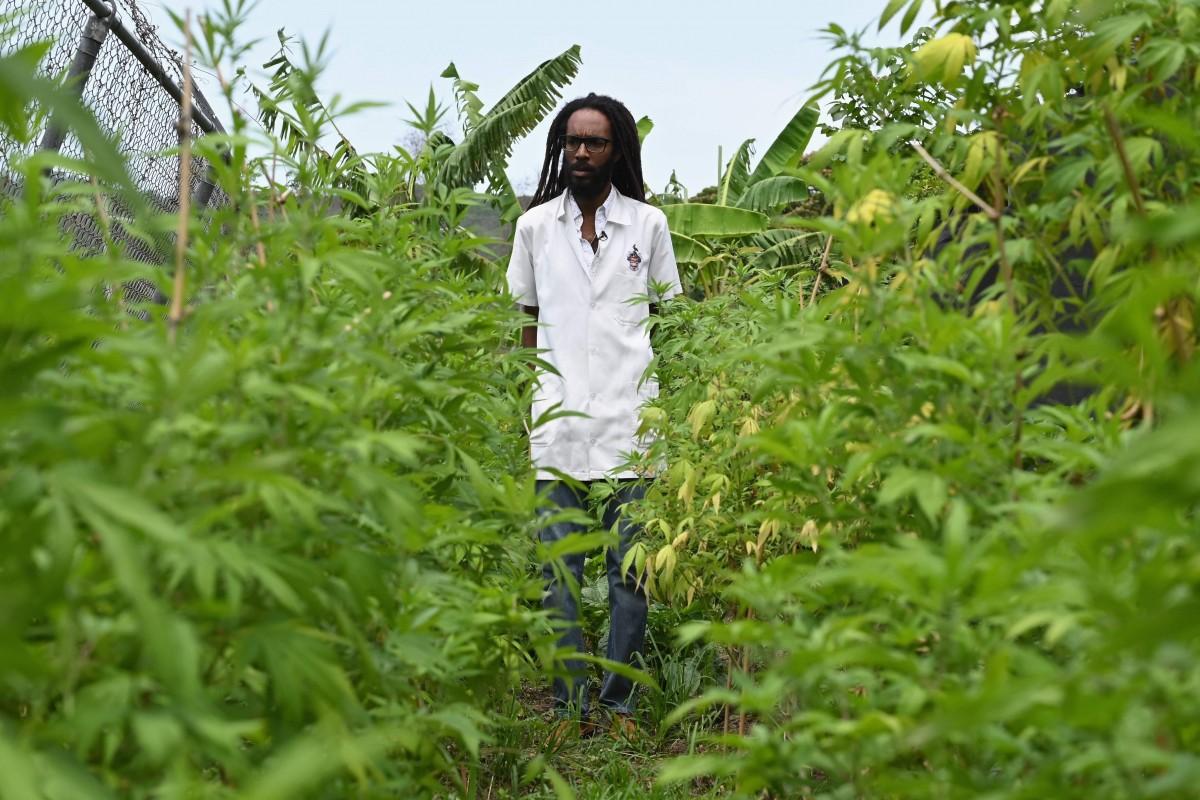 Dr Machel Emanuel in his Ganja farm. Photo: AFP