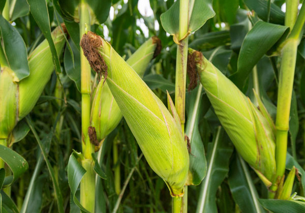 Zimbabwe bans export of maize