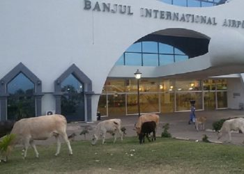 Animals roaming the Banjul Airport. Photo: Julia Blaise