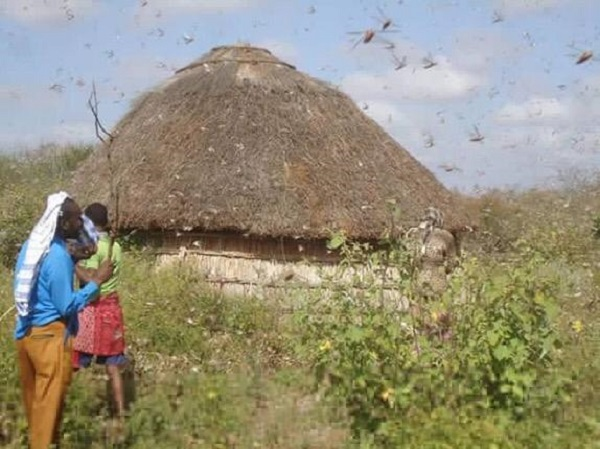 Locusts invasion in Somalia