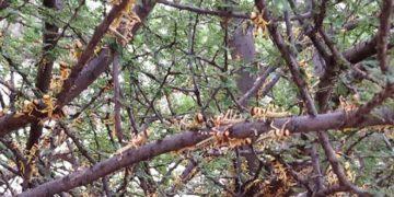 Locusts invasion