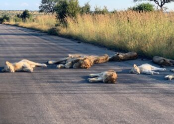 Lions nap on road