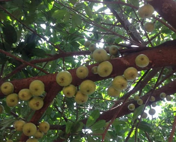 Apple tree in Ghana