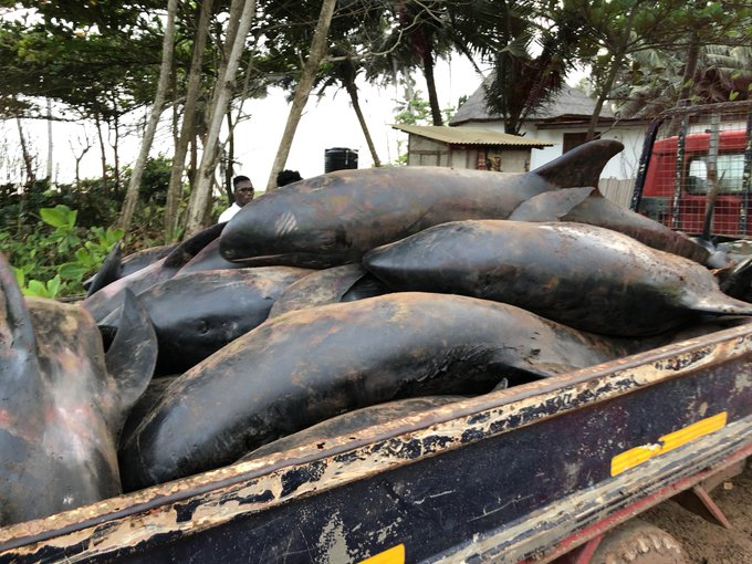 Dead dolphins and fishes washed ashore in Ghana - TheAfricanDream